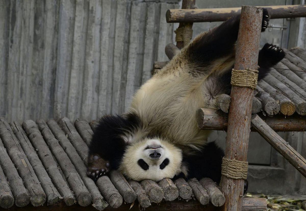 Питомник панд в Китае 4