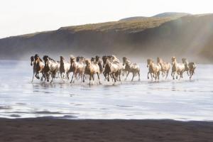 Буйная красота исландских лошадей. Фотограф Gigja Einarsdottir