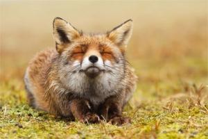 Лисы – эксперты по расслаблению. Фотографии Розелин Реймонд