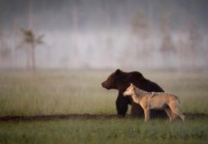 Финский фотоохотник Ласси Раутиайнен сделал уникальные кадры – как дружат волчица и бурый медведь