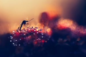 «Серийный убийца» насекомых - хищное растение росянка в макрофотографиях Джони Нимела