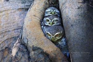 Многогранные совы в фотографиях Саси Смита