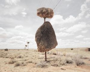 Огромные птичьи гнезда, свитые на телеграфных столбах в Южной Африке