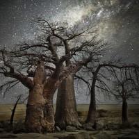 «Алмазные ночи» Бет Мун – самые старые деревья под звёздным небом
