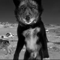 Ездовые собаки и люди Севера в фотопроектах Рагнара Аксельссона
