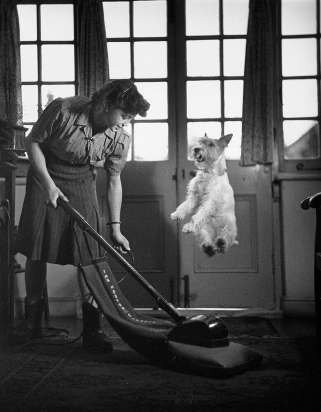 Жесткошёрстный фокстерьер Аста подпрыгивает, спасаясь от пылесоса, 1949. Автор Курт Хаттон