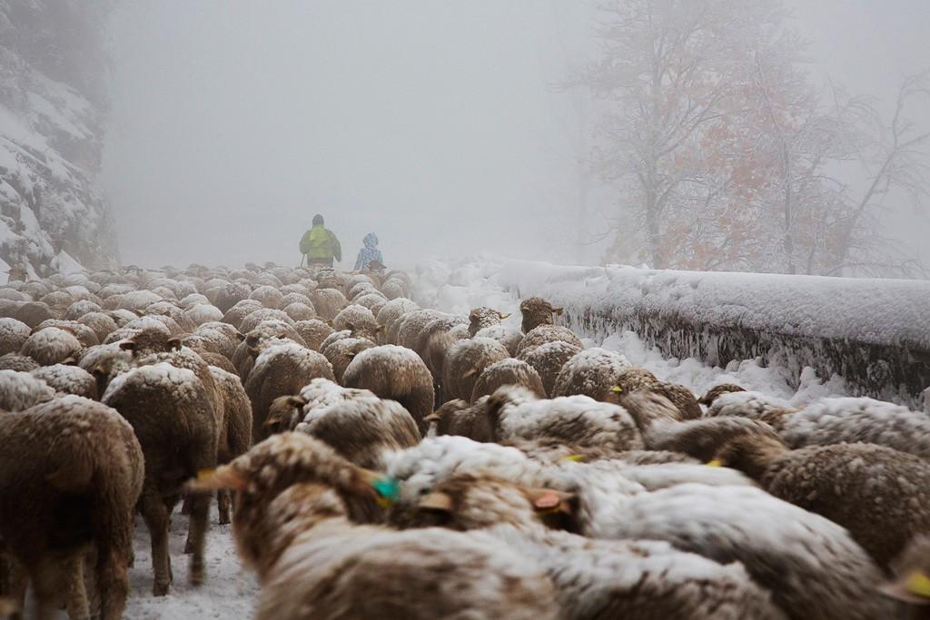 Перегон овец, Веркор, Франция, 2017. Автор Кристоф Жакро