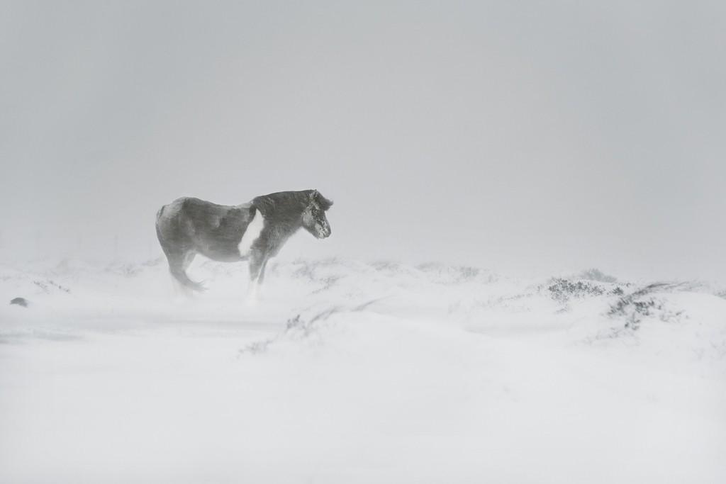 Лошадь и метель в Исландии, 2018. Автор Кристоф Жакро