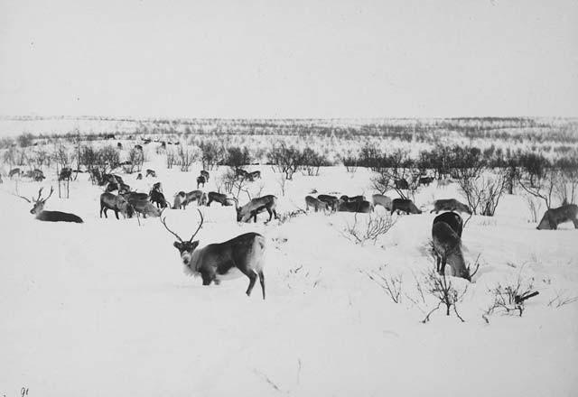 Пейзаж с северными оленями. Автор Софус Тромгольт