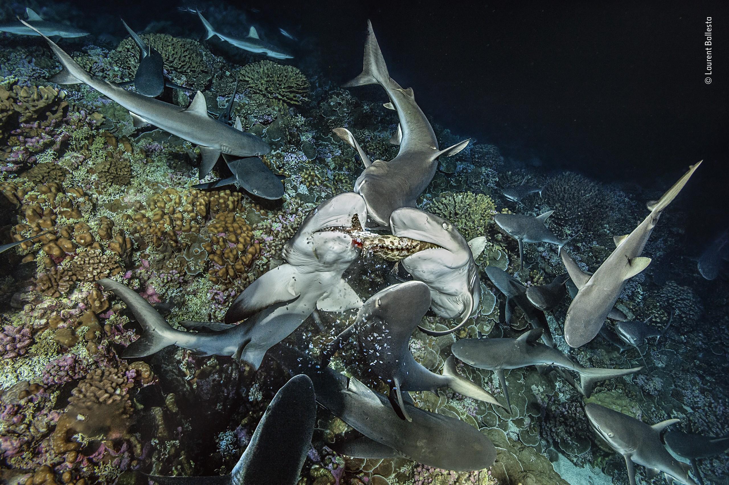 «Четвертовать». Серые рифовые акулы делят морского окуня. Фотограф Лоран Баллеста