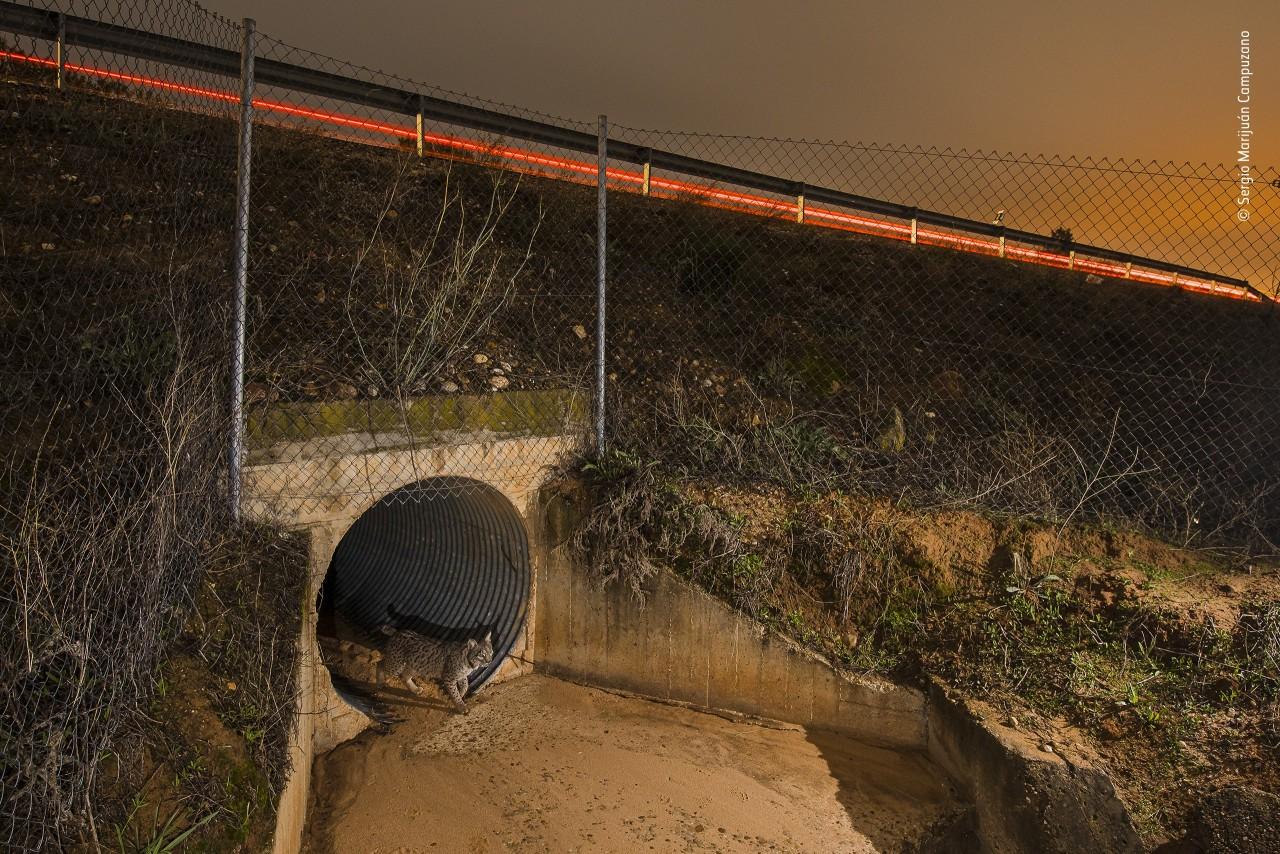 Рысь, Хаэн, Испания. Фотограф Серхио Марихуан Кампусано