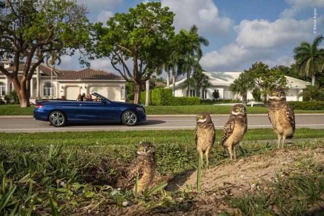 «Настоящие садовые гномы». Роющие совы во Флориде. Фотограф Карине Айгнер