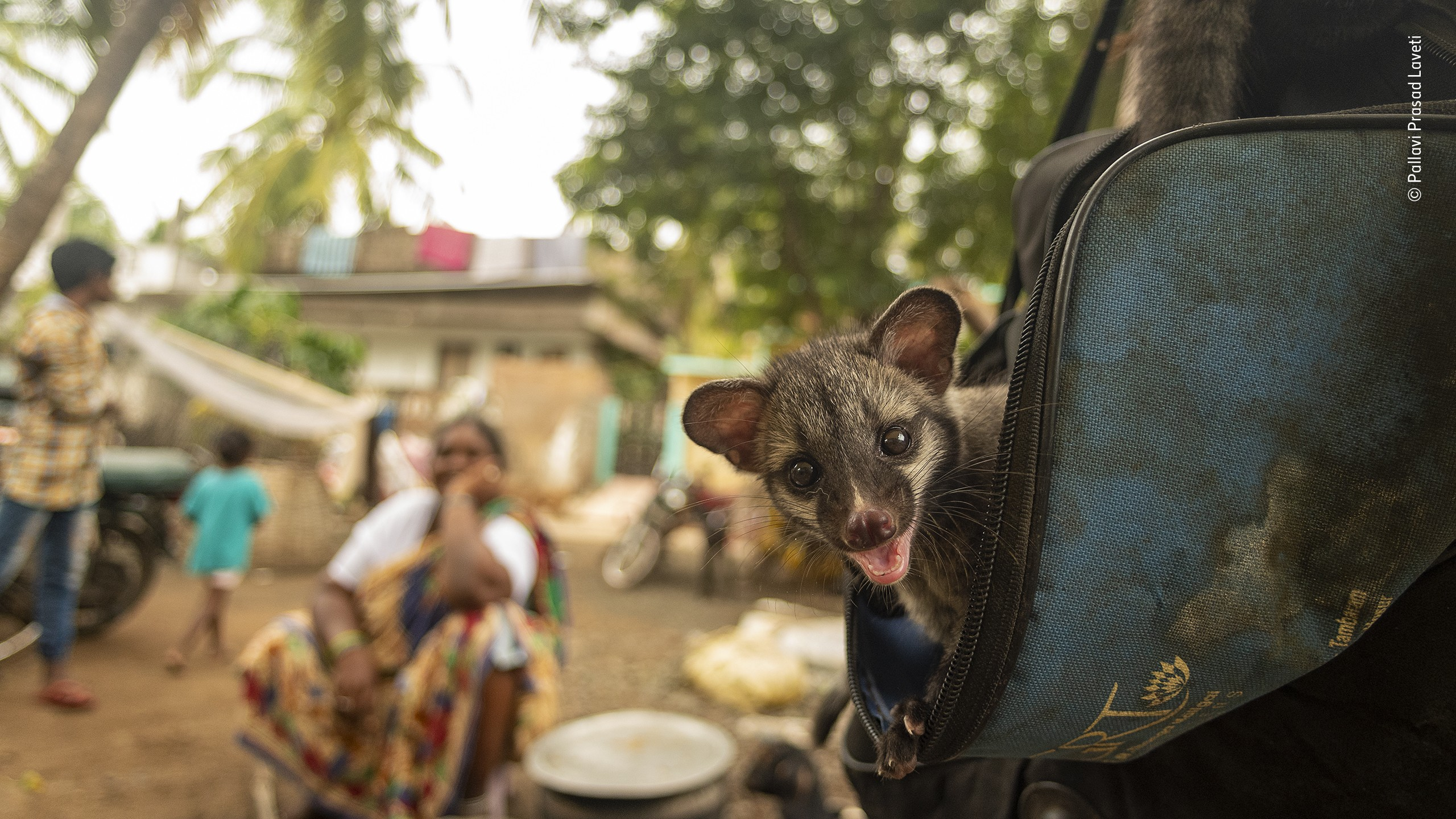«Сосуществование». Пальмовая цивета (или циветта) в индийской деревушке. Фотограф Паллави Прасад Лавети