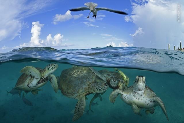 Черепахи, Багамские Острова. Фотограф Томас Пешак