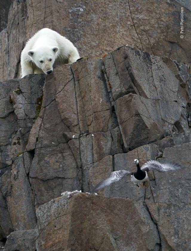 «Белая угроза». Медведь и всполошенная птица, Шпицберген. Фотограф Петри Пиетиляйнен