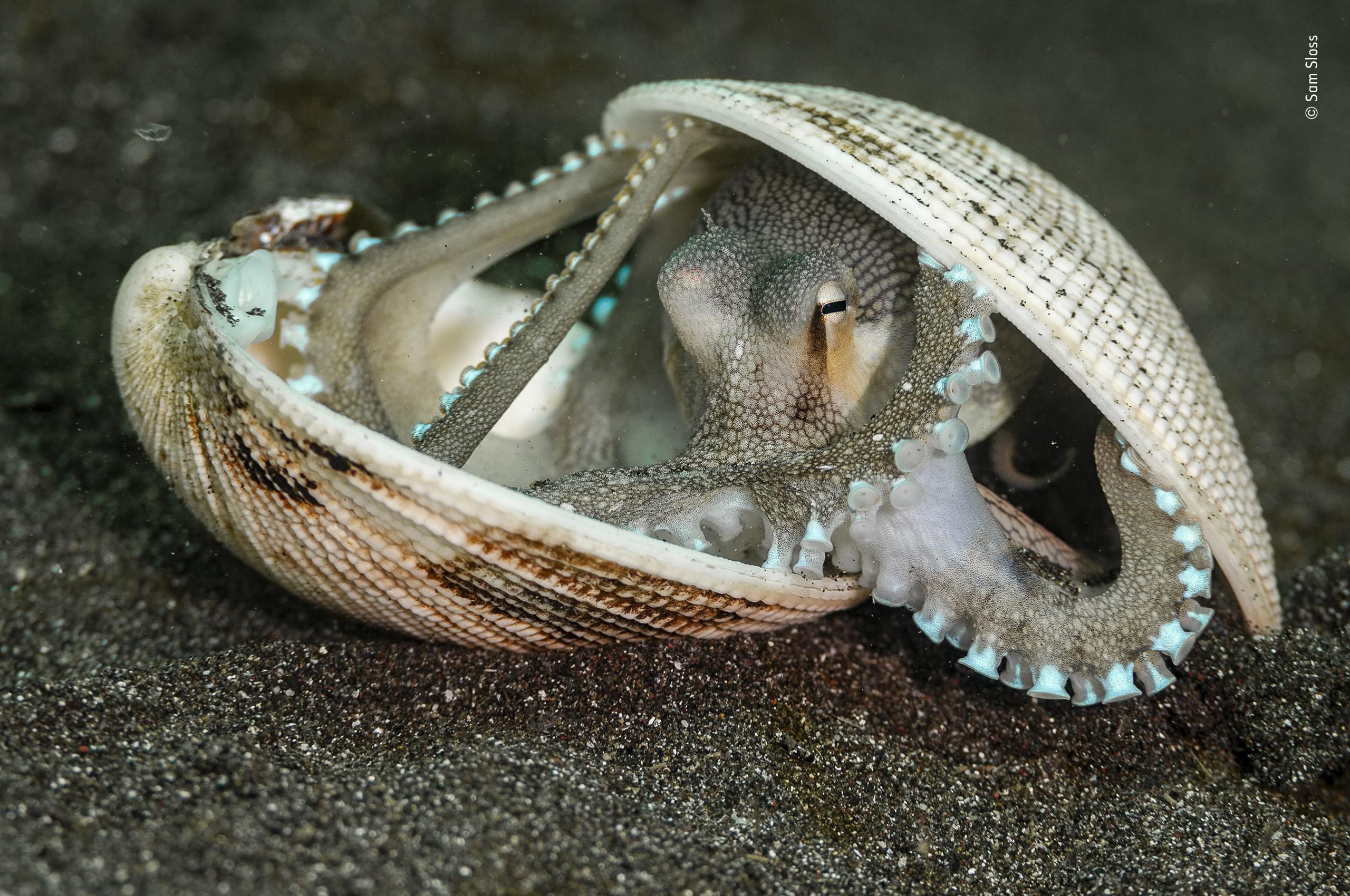 Кокосовый осьминог, несущий свой дом из раковин. Пролив Лембех, Сулавеси. Фотограф Сэм Слосс