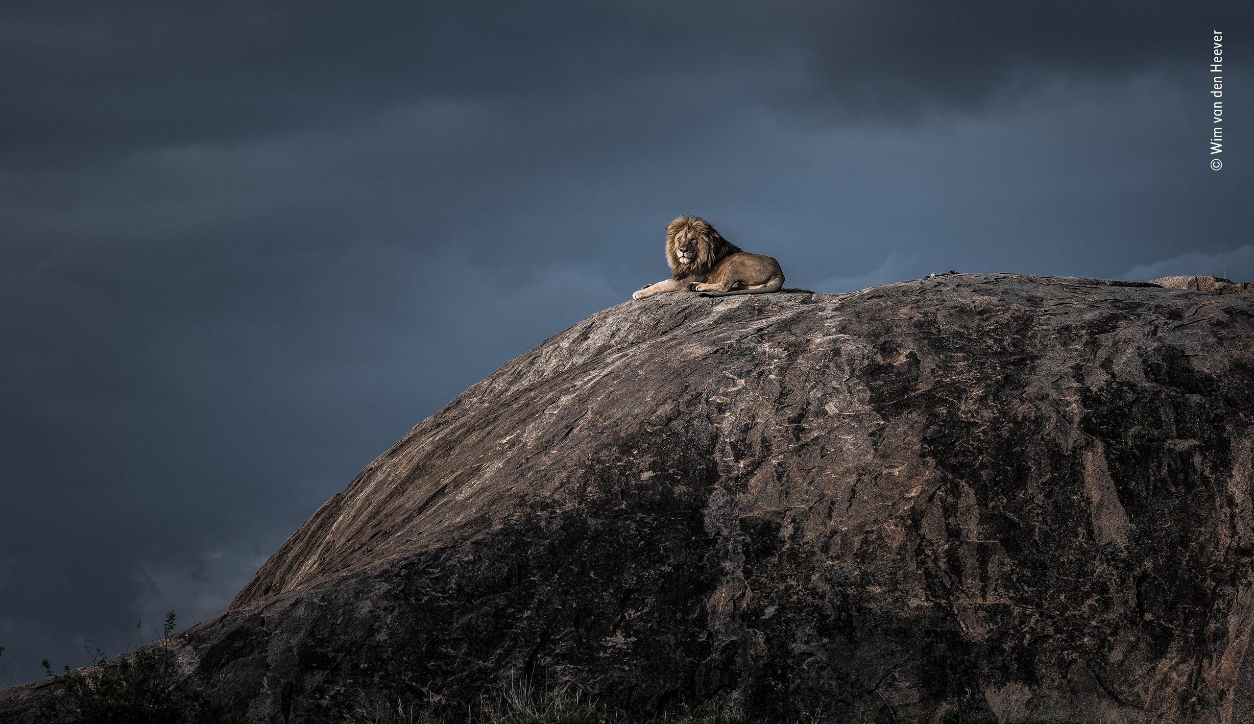 «Король Лев». Серенгети, Танзания. Фотограф Вим ван ден Хеевер