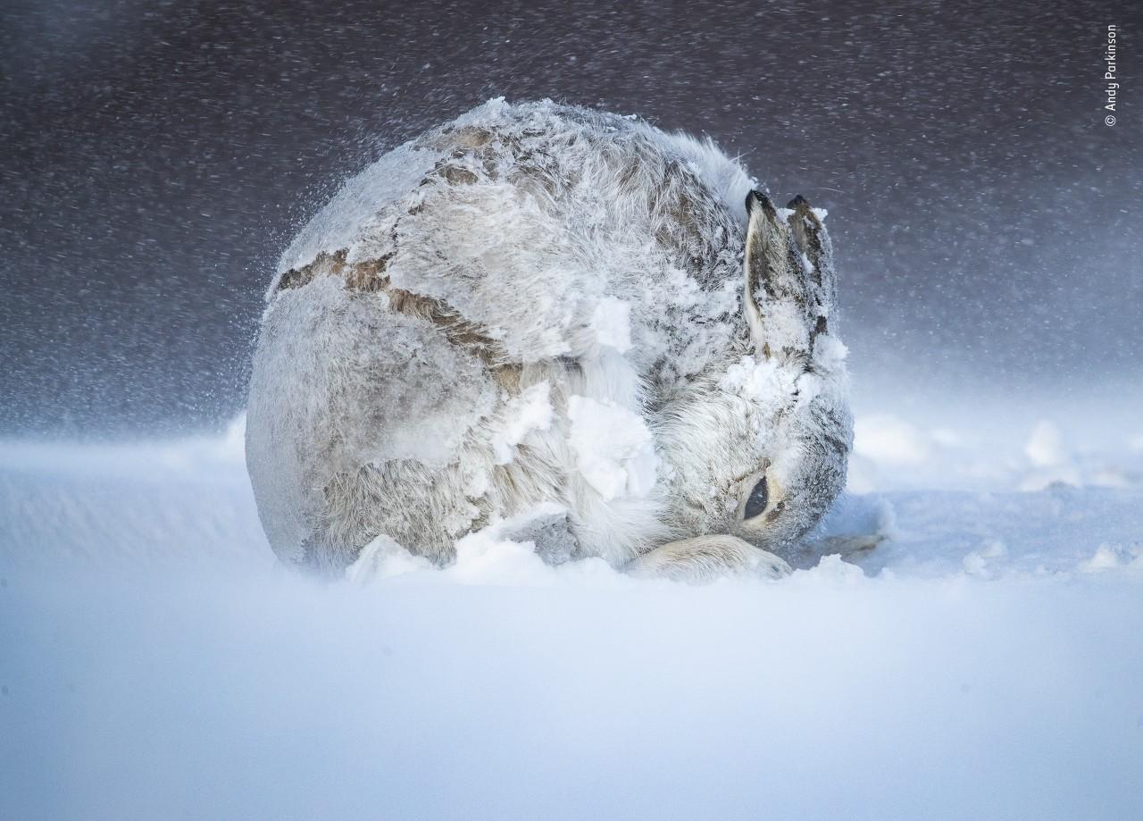 Заяц в снегу, Шотландское нагорье. Фотограф Энди Паркинсон
