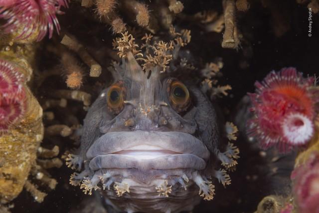 Японская мохнатоголовая собачка. Бухта Рудная, Японское море. Фотограф Андрей Шпатак