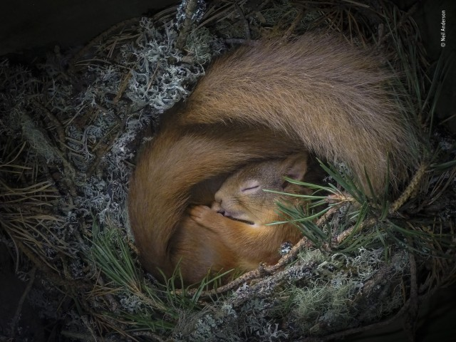 Спящая евразийская рыжая белка. Фотограф Нил Андерсон