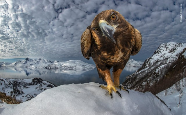 Финалист 2019.  Любознательный беркут на побережье Северной Норвегии. Автор Аудун Рикардсен
