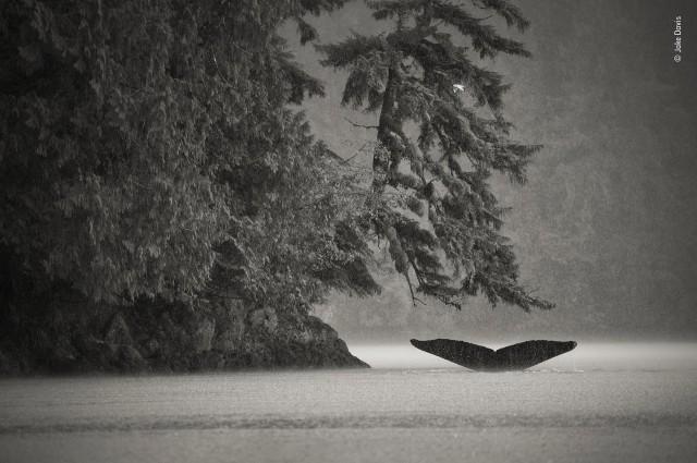 Финалист 2019. Горбатые киты. Береговые леса материковой Британской Колумбии, Канада. Автор Джейк Дэвис