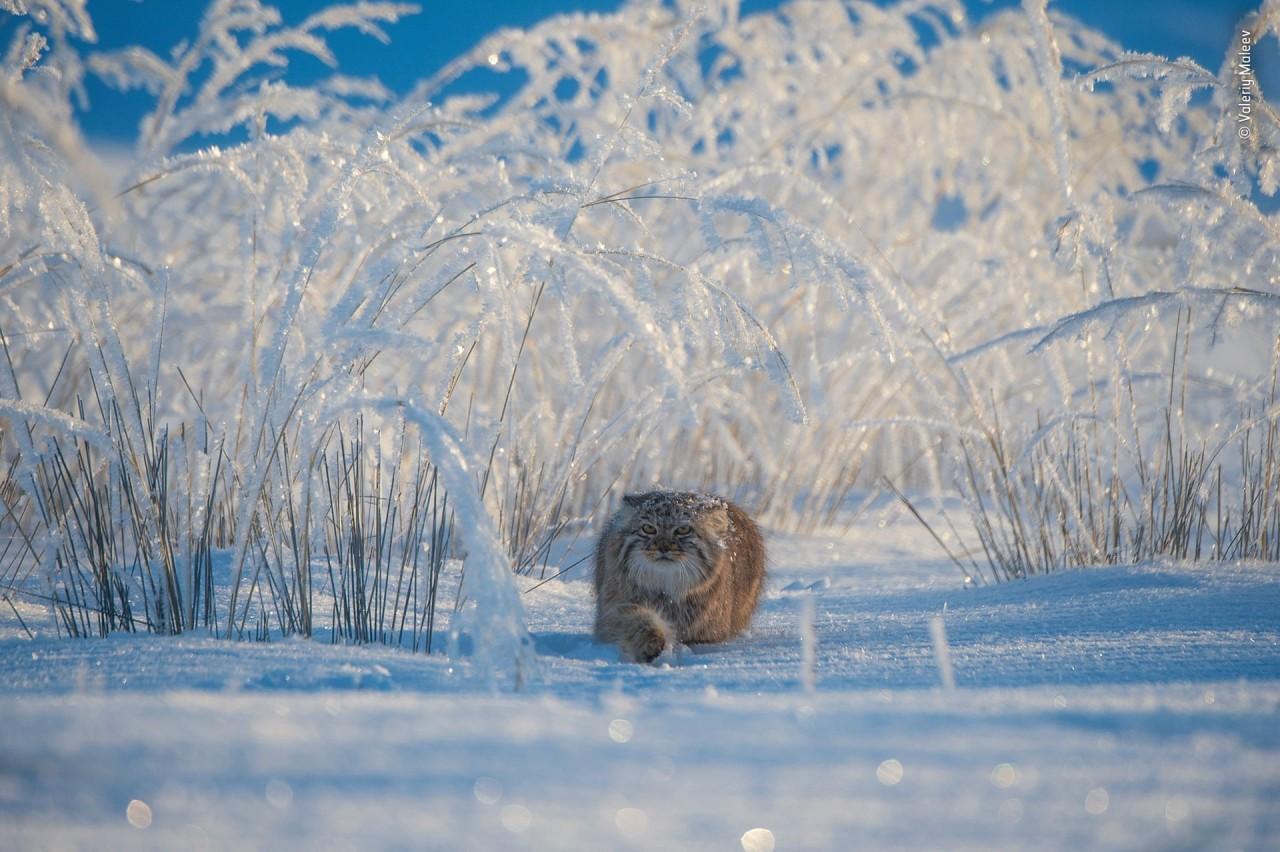 Финалист 2019. Манул на охоте в монгольских лугах. Автор Валерий Малеев
