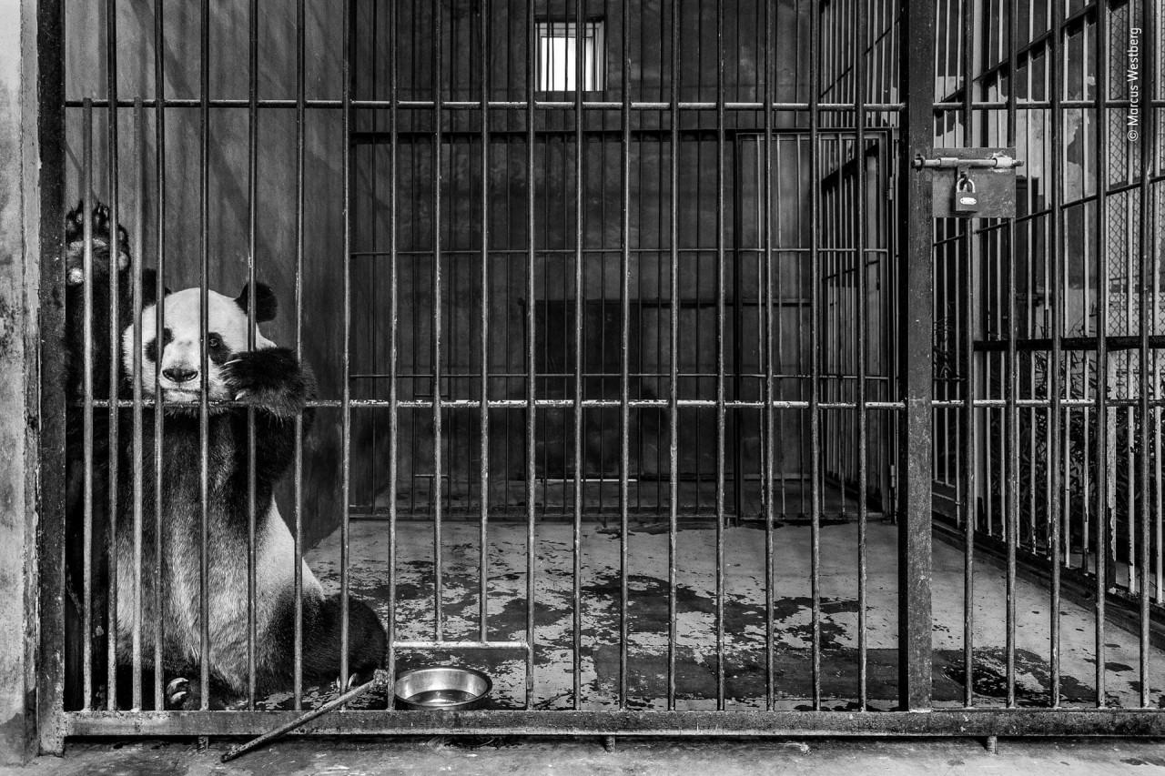 Финалист 2019. «Узник». Гигантская панда в центре разведения панд в Шэньси, Китай. Автор Маркус Вестберг