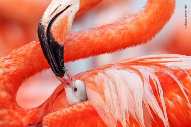 Финалист 2019. Карибские фламинго в Рио-Лагартос, штат Юкатан в Мексике. Автор Клаудио Контрерас Кооб
