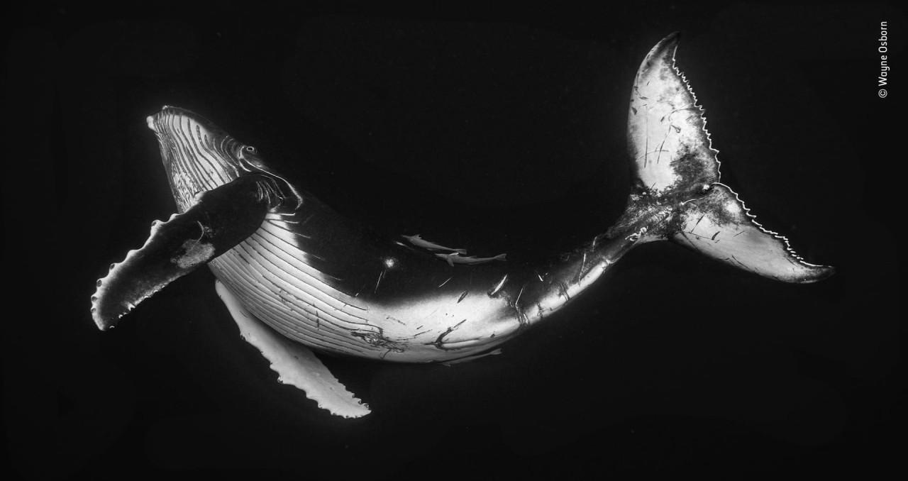 Финалист 2019. Малыш горбатого кита у архипелага Вавау, Тонга. Автор Уэйн Осборн