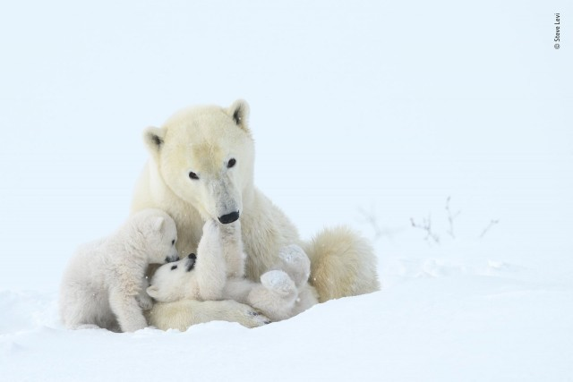 Финалист 2019. Медвежьи нежности. Национальный парк Вапуск, Канада. Автор Стив Леви
