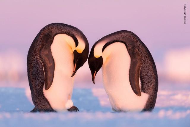 Финалист 2019. Пингвины тренируются в переносе яиц, используя снежок. Автор Штефан Христманн