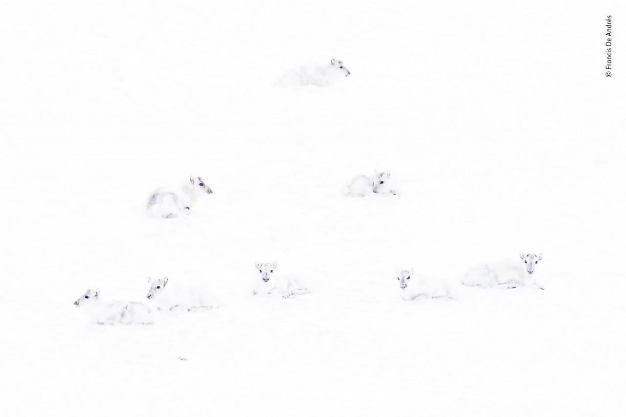 Высоко оценено, 2019. «Найди северного оленя». Шпицберген, Норвегия. Автор Франсис Де Андрес