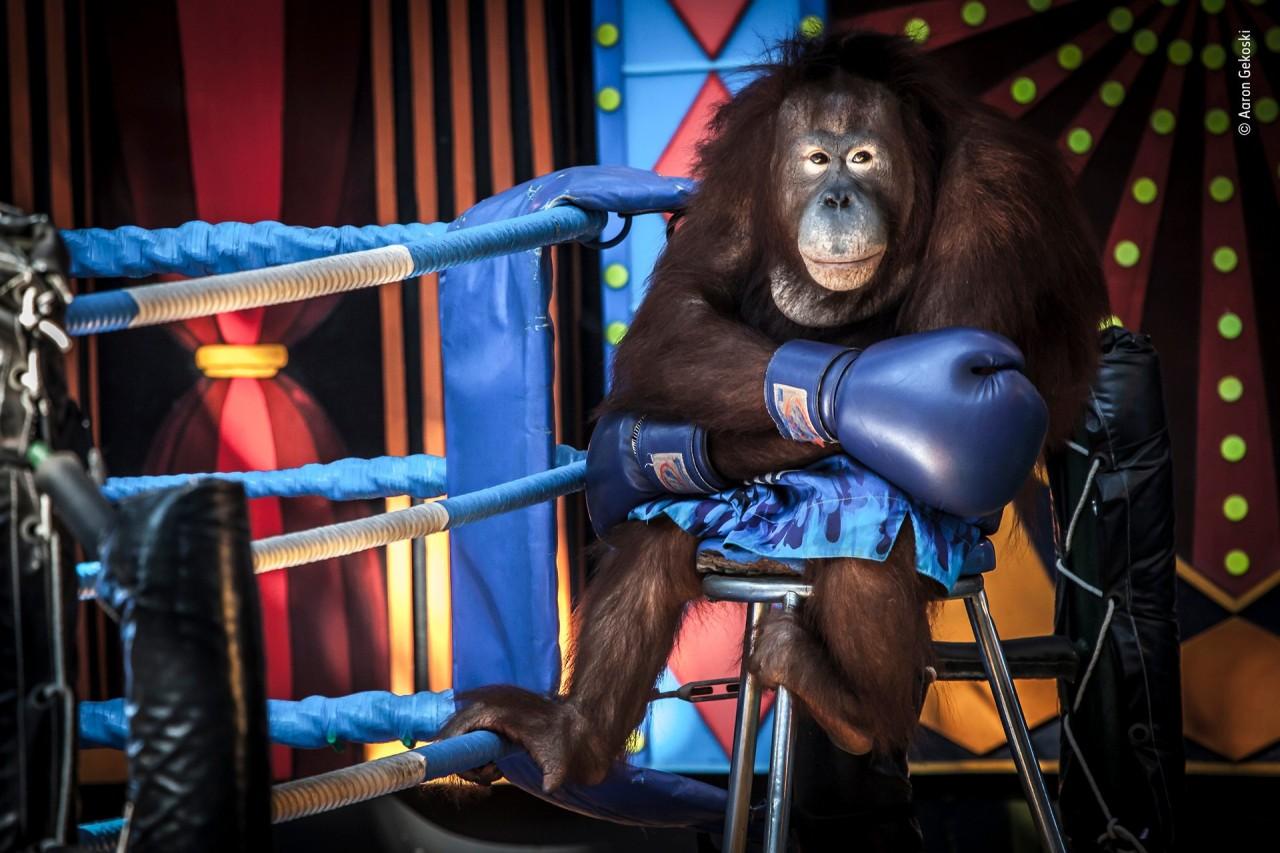 Высоко оценено, 2019. «Проигрывая бой». В Таиланде ещё существует практика использования орангутанов в развлекательных шоу. Автор Аарона Гекоски