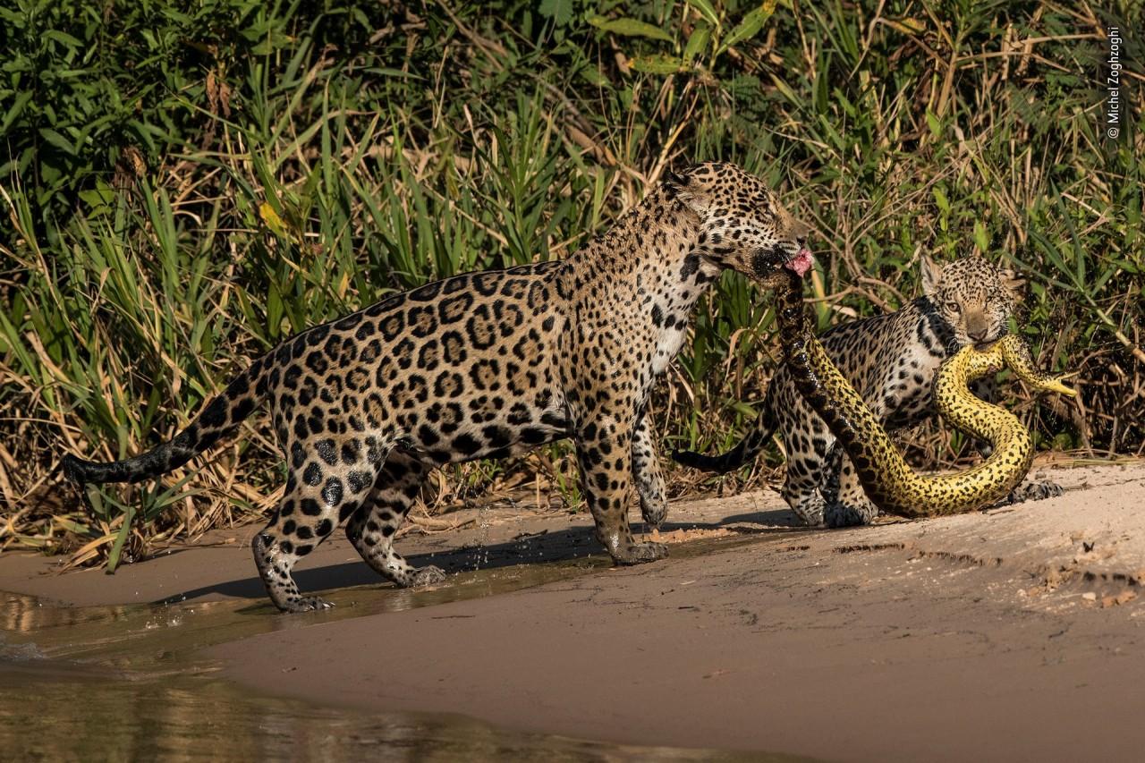 Высоко оценено, 2019. «Сочетающиеся принты». Самка ягуара с детёнышем тащат анаконду из реки в Бразилии. Автор Мишель Зогзоги