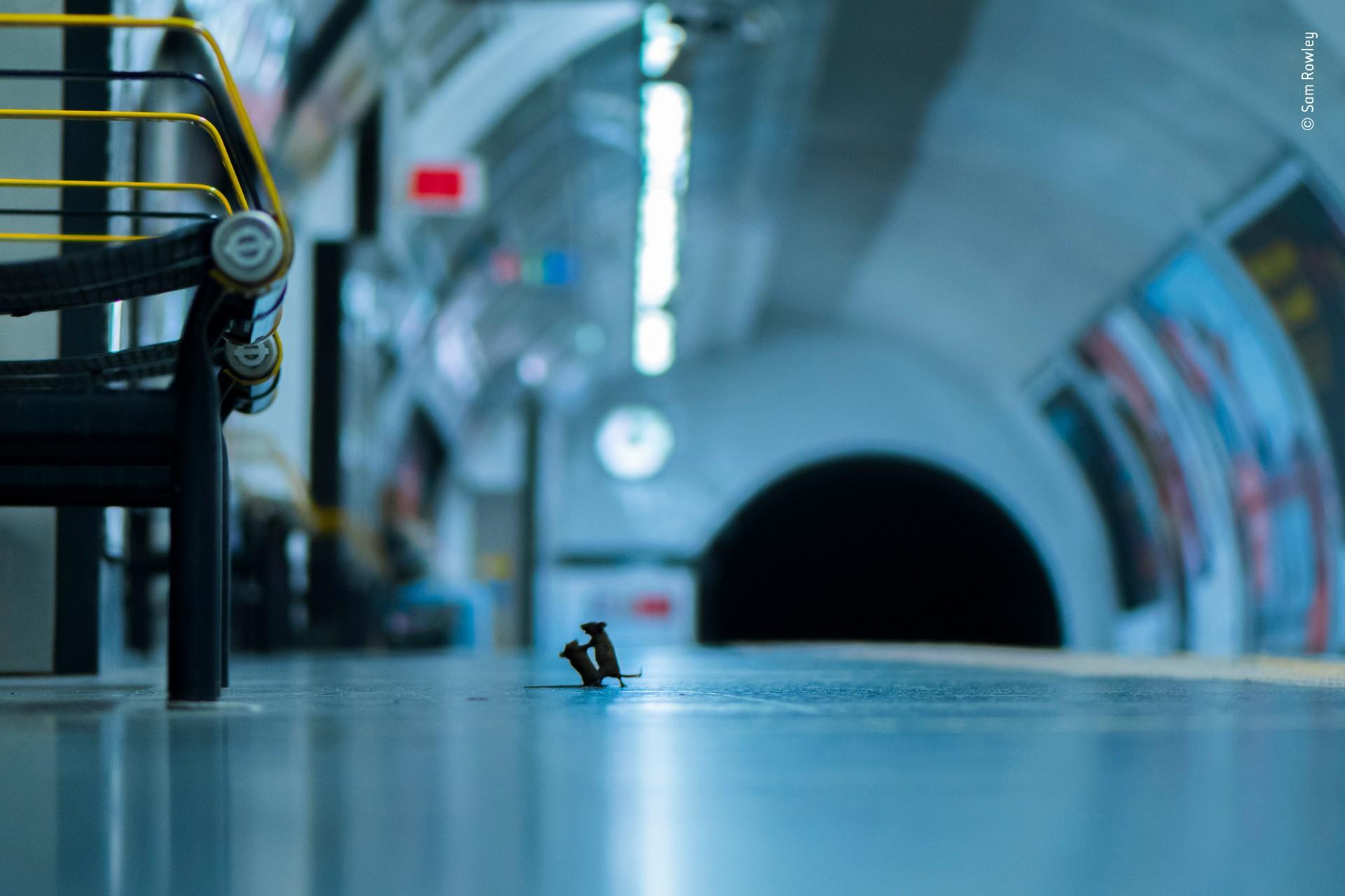 Главный победитель 2019. Ссора мышей в лондонском метро. Автор Сэм Роули