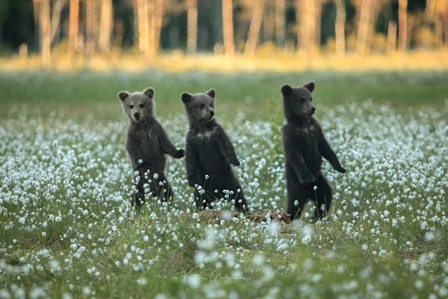 «Медвежья чечётка». Автор Валттери Мулкахайнен