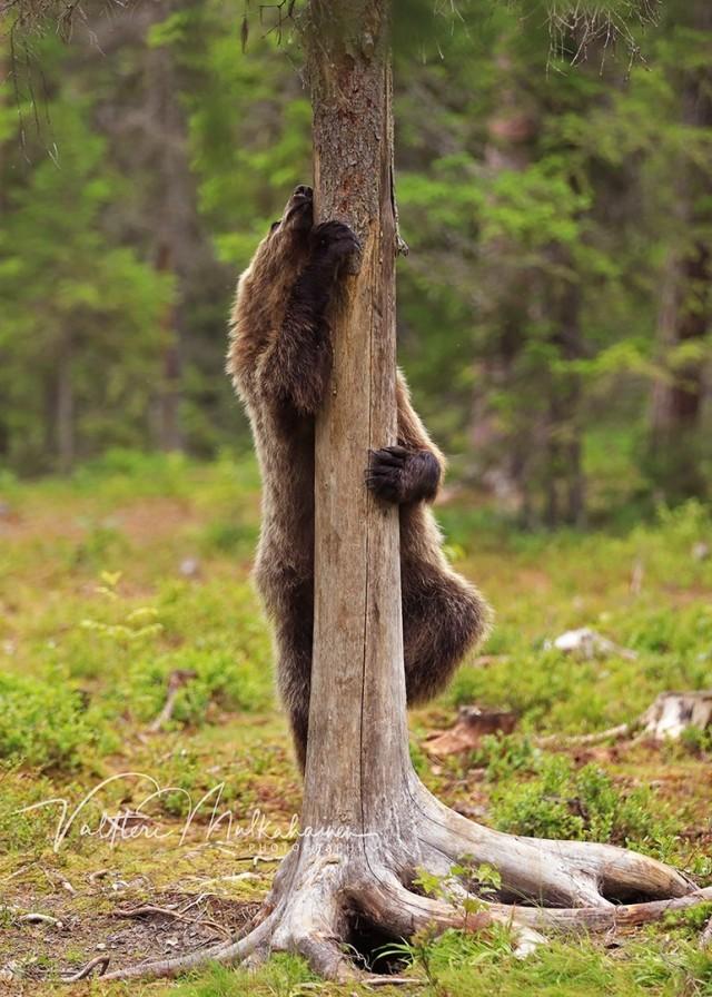 «Медвежий pole dance». Автор Валттери Мулкахайнен