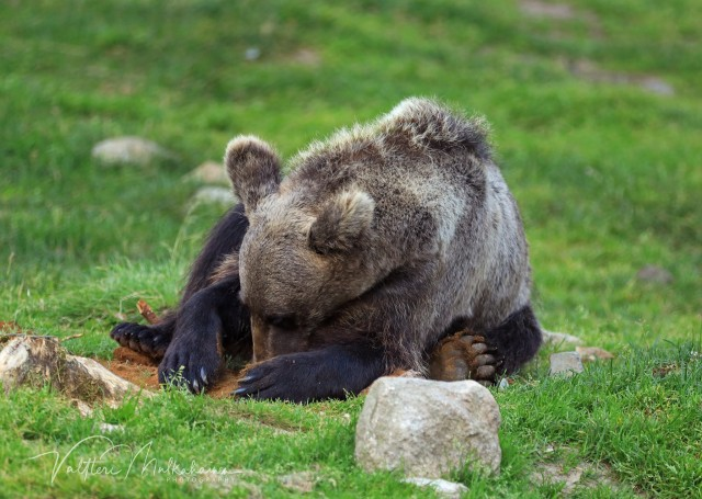 Медведь делает куличик из песка. Автор Валттери Мулкахайнен