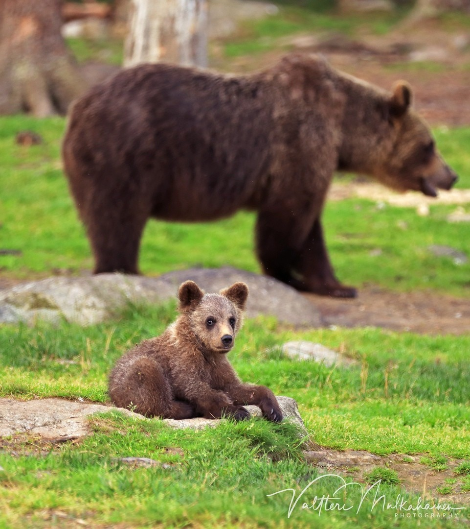 Медвежонок с медведицей. Автор Валттери Мулкахайнен