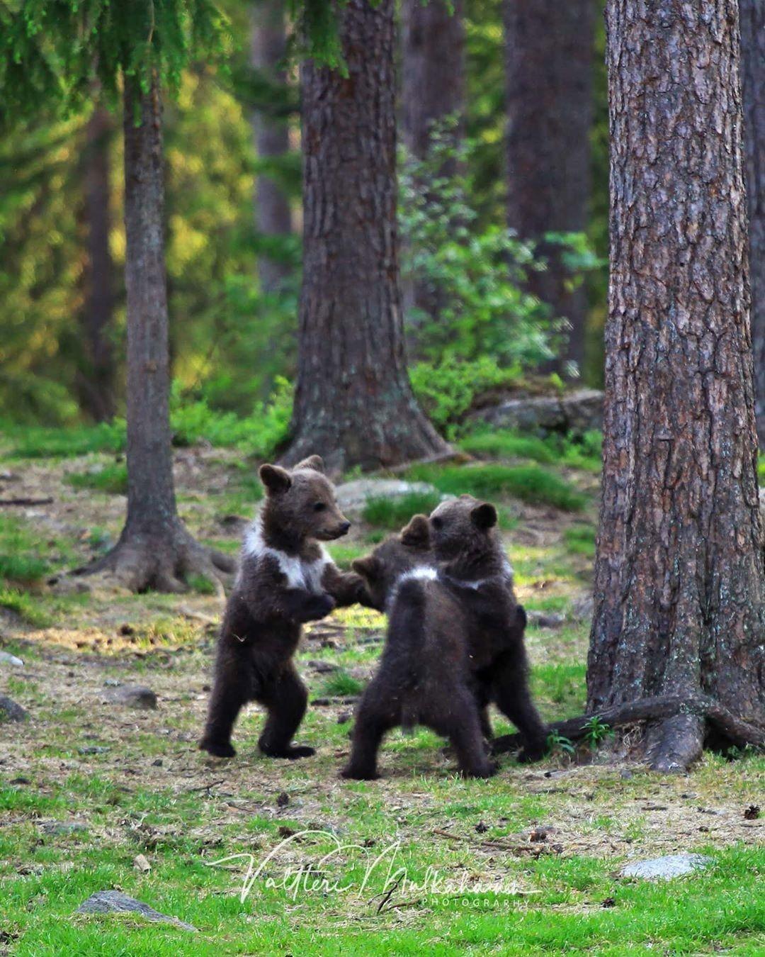 «Братья медвежата». Автор Валттери Мулкахайнен