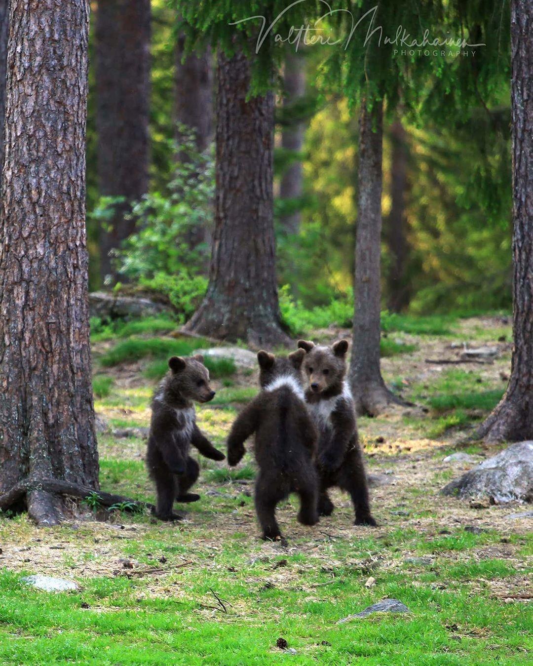 «Танец маленьких медвежат». Автор Валттери Мулкахайнен