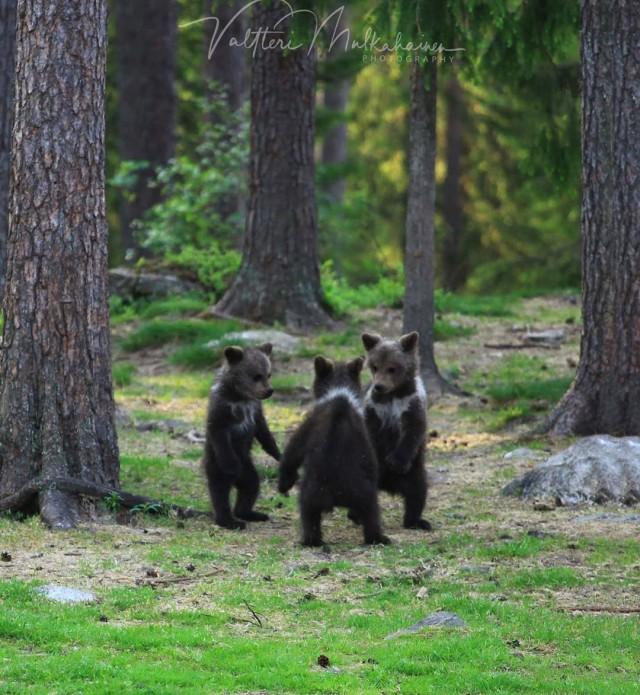«Три медвежонка». Автор Валттери Мулкахайнен