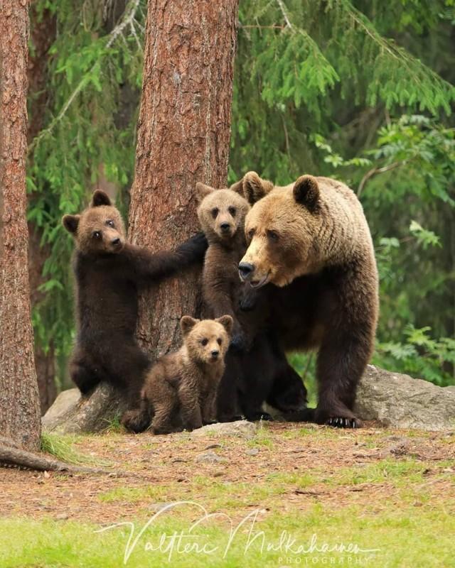 Из жизни медведей в финских лесах. Фотограф Валттери Мулкахайнен