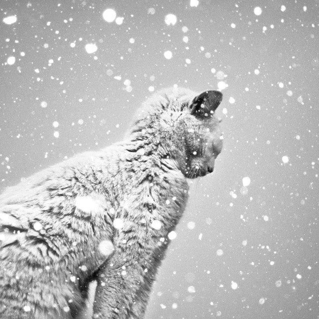 «Кот и снегопад». Автор Бенуа Корти