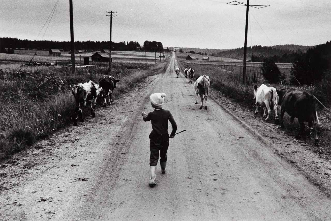 Семилетняя Хелен Йонссон отводит коров на выпас, 1960. Автор Суне Юнссон