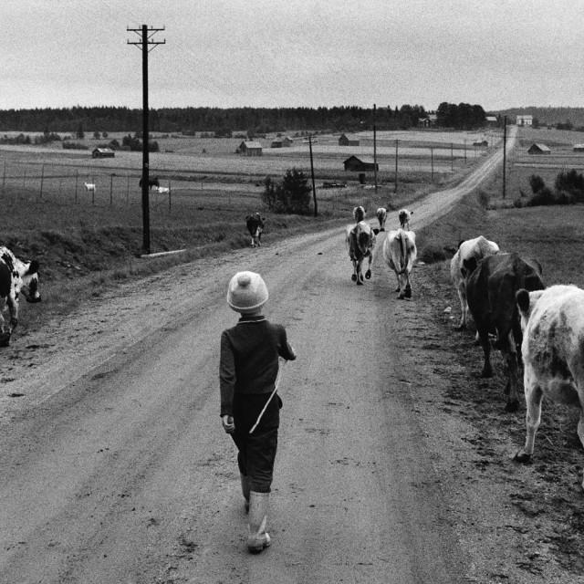 Семилетняя Хелен отводит коров на выпас, 1960. Автор Суне Юнссон