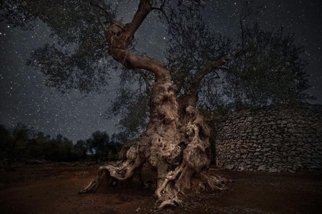 Олива в Италии. Автор Бет Мун