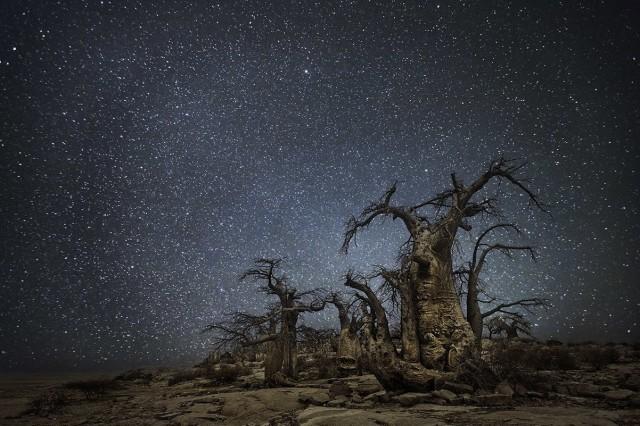 Созвездие Жертвенник и баобабы в Ботсване. Автор Бет Мун