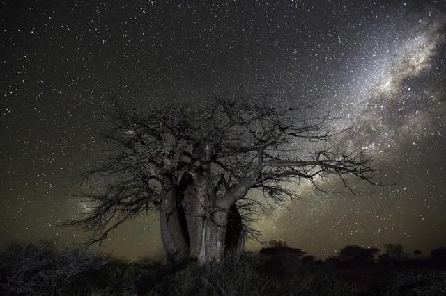 Созвездие Кит и баобаб в Ботсване. Автор Бет Мун